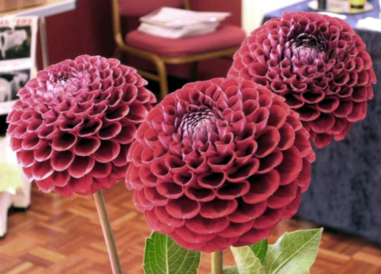Picture of some red dahlias